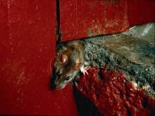 Hvilke sygdomme spreder rotter og mus?