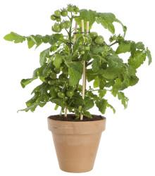 Plantera tomat i kruka