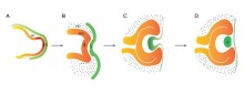 Signalprotein styr tidig utveckling av fostrets sensoriska system