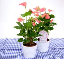 Dagens Rosa Produkt 28 oktober - en Rosenkalla från Mäster Grön