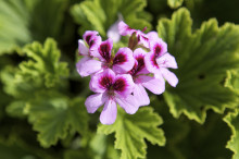 Växttrenden i vår stavas doftpelargon!