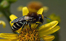 Murbier i mørtelfuger kan give alvorlige skader i murværket