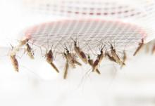 Så blir malariasmittade extra lockande för myggor