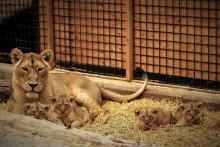 Stor familjelycka i lejonflocken på Parken Zoo