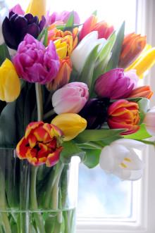 Den 15 januari firas Tulpanens Dag!