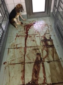 Svenska företag utför plågsamma djurförsök på tyskt skandallaboratorium
