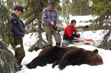 Rätt åtgärder kan rädda renkalvar från björn