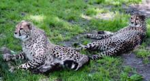 Gepardungarna har blivit stora