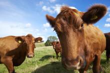 Svenskarna beredda att betala mer för svenskt kött