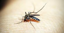 Se upp för denna farliga mygga på solsemestern
