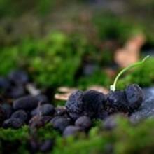 Rådjursbajs bidrar till den biologiska mångfalden