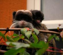 Utrotningshotade kejsartamariner blir fler i Parken Zoo