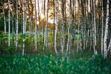 Pollen har avancerat uppåt i landet – försäljning av pollenläkemedel har ökat med 859 % i norra Sverige.