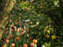 2 dagar kvar - påminnelse till alla skolor -  Vinn 1 av 100 blomsterlökspaket till din skola