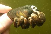 Vandrarmussla hittad i sjöarna Roxen och Glan - hotar slå ut inhemska arter
