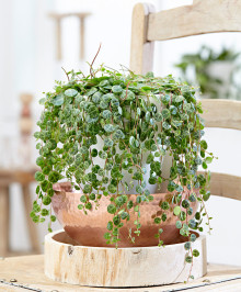 Trend: Gröna hängväxter blir allt populärare!