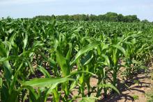 Ska säkerhetsgranskade GM-grödor få odlas i EU? Låt länderna bestämma själva, föreslår experter