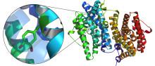Ett oväntat sätt för mykoplasmabakterier att lura vårt immunsystem