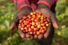 Klimatförändringarna hotar framtidens kaffe
