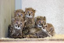 Söta gepardungar födda i Parken Zoo