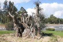 Ikivanhat oliivipuut - uusi trendi puutarha-arkkitehtuurissa
