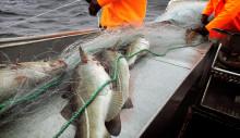 Nytt rekordår for torskeeksporten