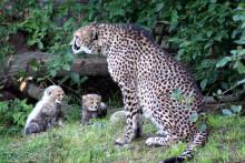 Filmklipp av gepardungarna i deras nya uteanläggning!