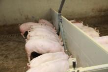 Kotimaisella härkäpavulla voidaan korvata soijarouhe lihasikojen ruokinnassa
