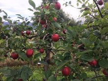 Norske epler har hatt en tøff start i år