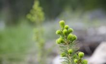 Skogsplantornas tillväxt kan dubbleras