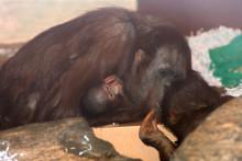 Orangutangungen i Borås Djurpark har nu namngivits