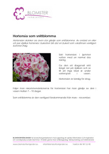 Hortensia som snittblomma