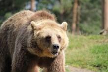 Beslut från Länsstyrelsen i Dalarnas län om årets licensjakt på björn