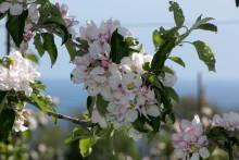 Äppelblomssafaris i Kivik