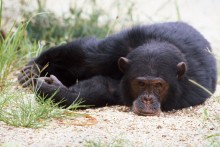 Honor är schimpansernas kulturbärare