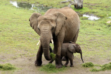 Elefantkalven Jabu ute på savannen I Borås Djurpark!