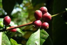 Kaffe bromsar avskogning i Etiopien