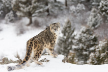 EXPERT COMMENT: Snow leopard 'rape': what was really going on?