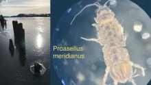 Ny art oppdaget i Glomma