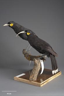 Utdöda sångfåglars DNA avslöjar dödsorsaker