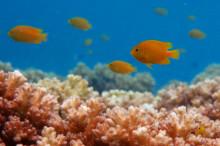 Frökenfiskar i nöd signalerar efter hjälp