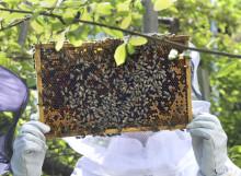 Honungsskörden gick från glädjefnatt till brist