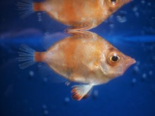 Trynfisk - en ny och ovanlig fisk till Havets Hus