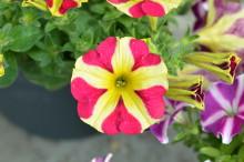 Äntligen dags för utplanteringsväxter - nya spännande sorter!