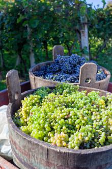 Vinskola del 10: Arbete i vinodlingen – vinskörden