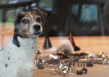 Joulu voi olla koiralle(kin) stressaavaa aikaa – hyvä valmistautuminen avittaa niin lemmikkiä kuin omistajaakin