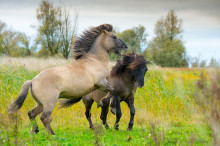 Syv vilde heste skal forbedre naturen i Bjergskov