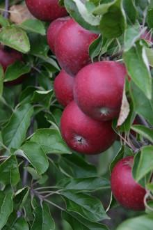 De första klimatcertifierade äpplena