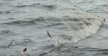 Under tre år fångar vi in fisk för att undersöka miljögifter