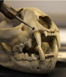 Spanska lodjur har överlevt trots extremt liten genetisk variation